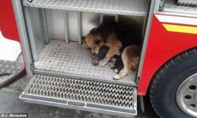 Tireless: She ran between the house and truck over and over again until all puppies were safe