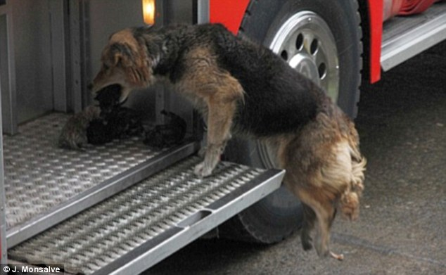 Instinct: Sensing the danger to her babies, Amanda picked the pups up in her mouth and moved them from the burning house to the safety of the nearby fire truck