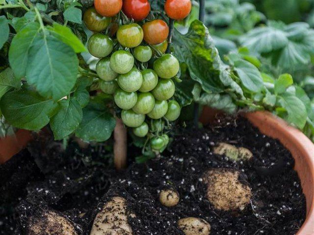 Say hello to the Tomato, a plant that grows both Tomatoes and Potatoes. PHOTO: THOMPSON AND MORGAN