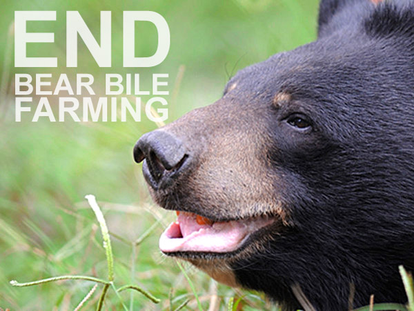 ARTICLE (graphic) & VIDEO | Asian bear bile remedies: traditional medicine or barbarism?