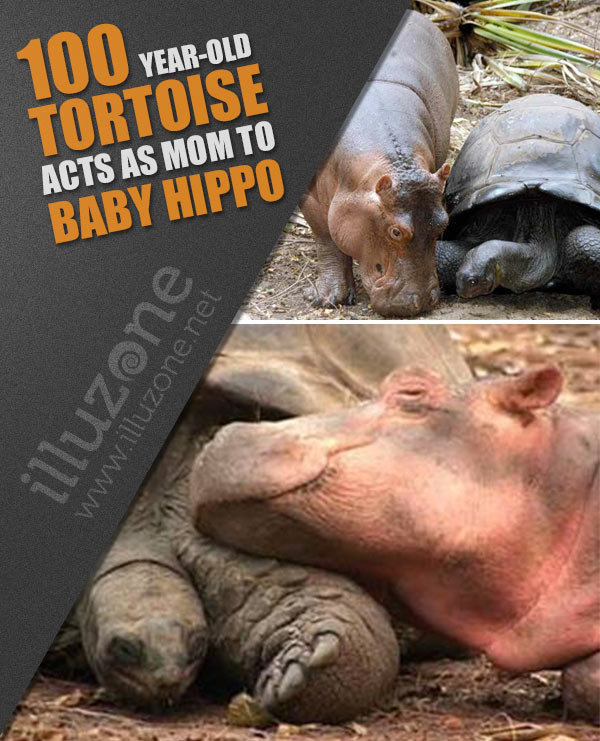 ARTICLE   100 year-old tortoise acts as mom to baby hippo