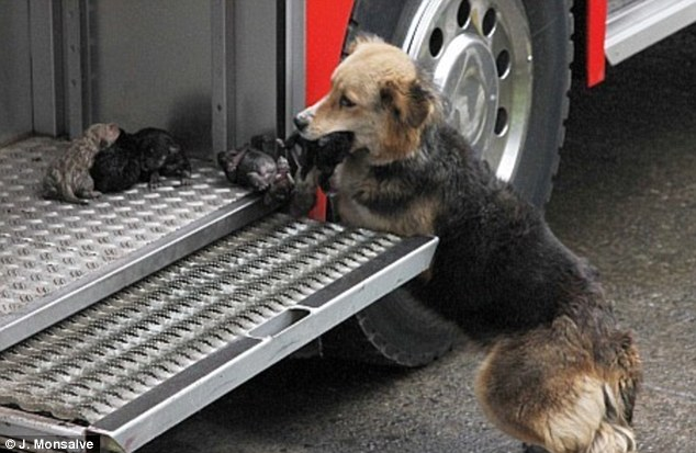 Love: A heroic mother dog saved her ten-day-old puppies from a house fire in Santa Rosa de Temuco, Chile