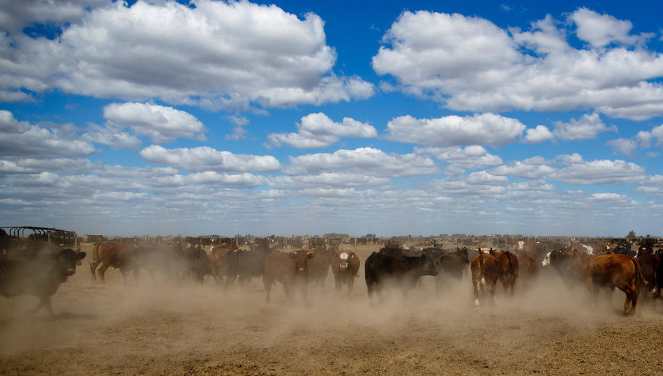 In this Sept. 25, 2013, photo, cattle are corralled near the town of Berabevu, in Santa Fe province, Argentina. As Argentine ranchers turn to higher-profit soybeans, formerly grass-fed cattle are fattened on corn and soy meal in feedlots. Argentina's entire soy crop and nearly all its corn have become genetically modified in the 17 years since St. Louis-based Monsanto Company promised huge yields with fewer pesticides using its patented seeds and chemicals. Soy cultivation alone has tripled to 47 million acres, transforming a nation once known for its grass-fed cattle into the world's third largest soybean producer. (AP Photo/Natacha Pisarenko)