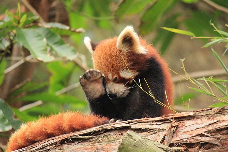 Red Panda 6