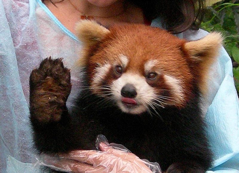 Red Panda 11