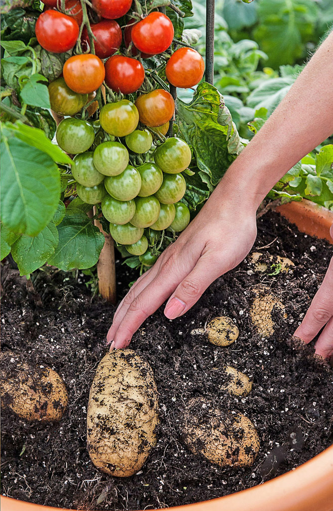 Tomtato – This plant grows Tomatoes and Potatoes at the same time