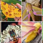 20 most beautiful moths species
