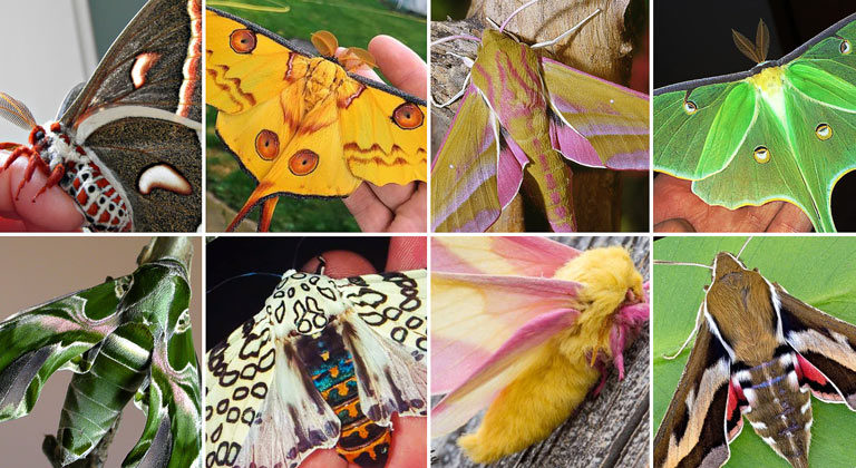 20 of the most beautiful moth species