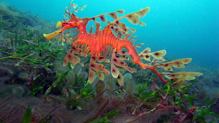 The Leafy Sea Dragon, a visually spectacular sea creature named after the Chinese mythical dragons.